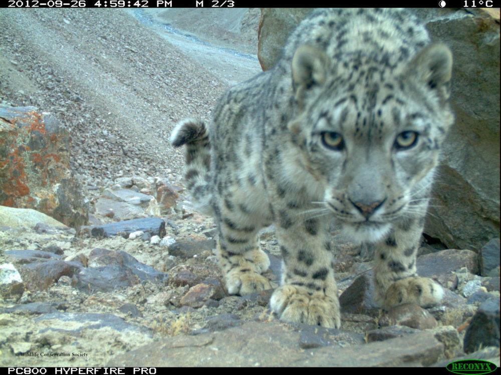 _Camera-Trap-picture-in-Lower-Wakhan-Badakhshan-WCS Photo.jpg