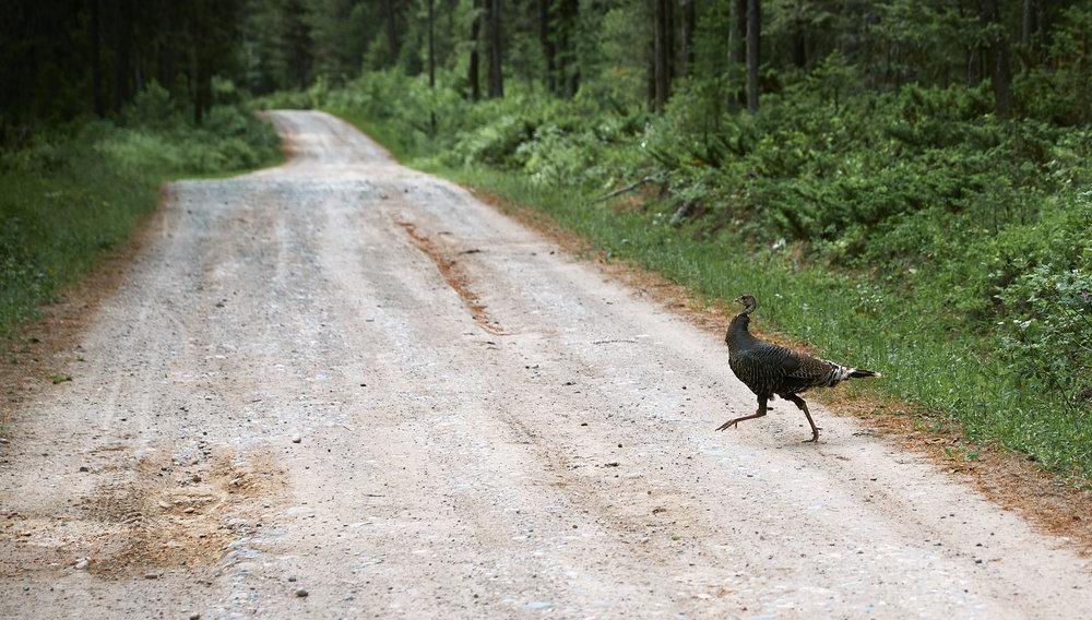 Not our last wild turkey sighting.