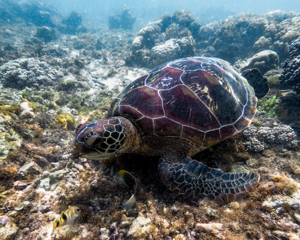 apo_island_turtles.png