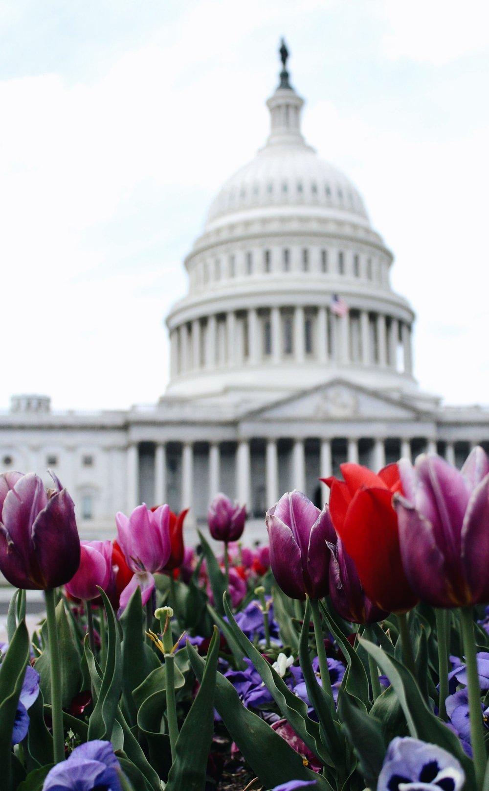 dc condo boutique dupont circle - Washington Capitol with Tulips