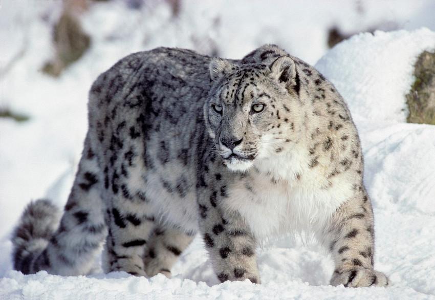 leopardsnow.jpg