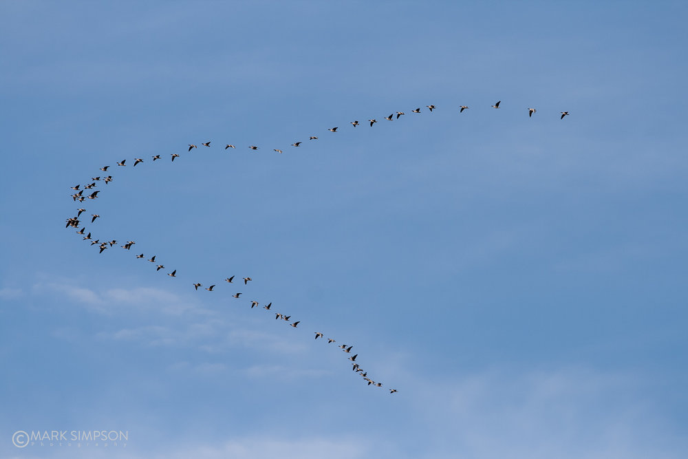 Flock of Geese making their own Tornado tribute.