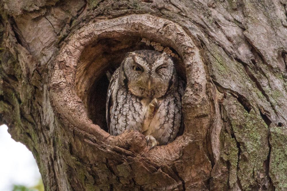 Eastern Screech Owl - Cambridge, MA