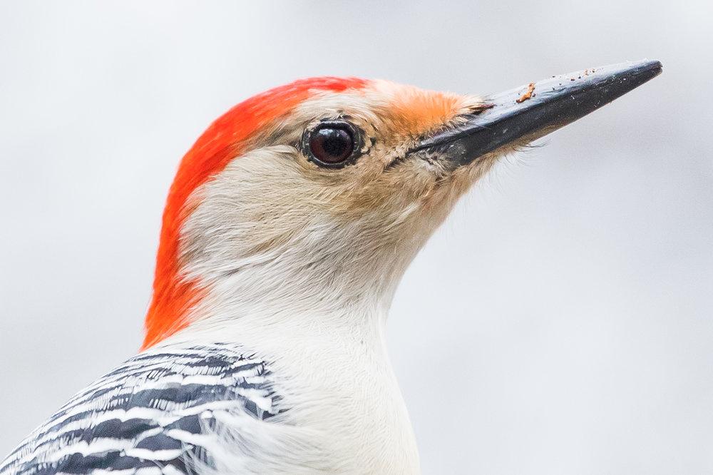 Red-bellied Woodpecker - Topsfield, MA