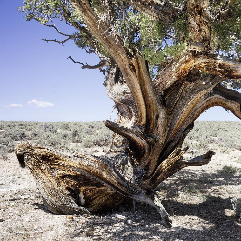USA_bristlecone_pine.jpg