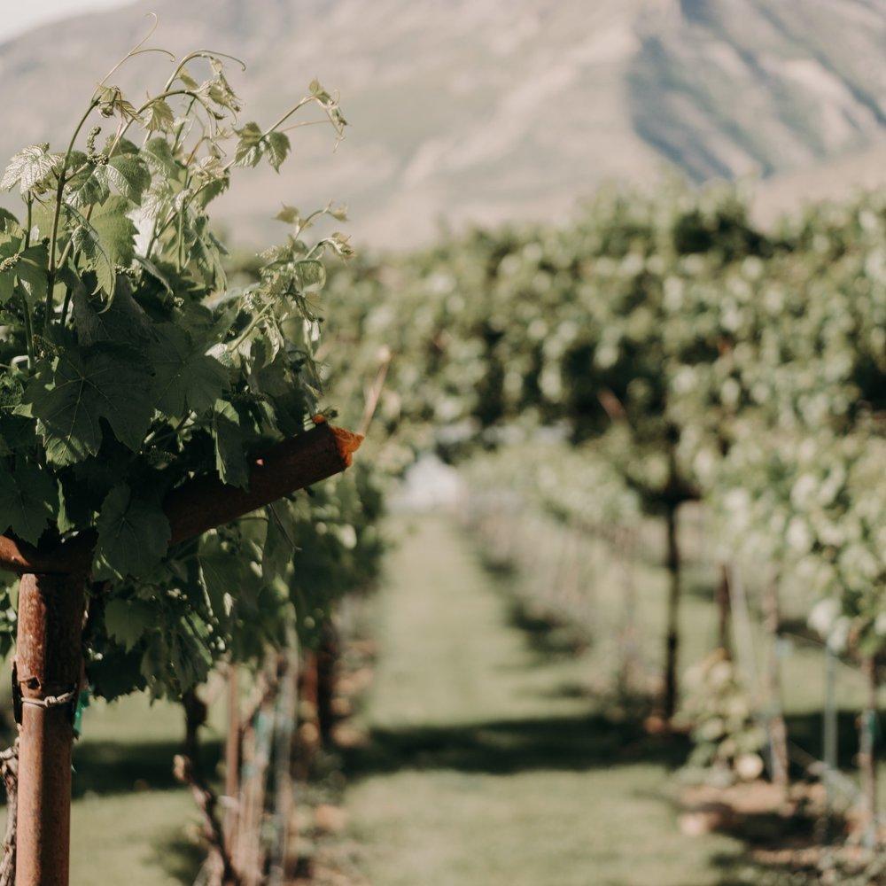 Wadley Farms grape vineyard