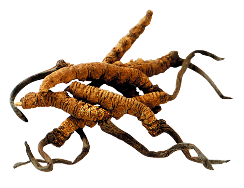 Cordyceps Sinensis Cut Out (1).png