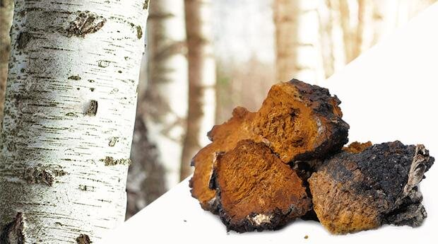 chaga-mushroom-cancer-prevention-treatment_1200x1200.jpg