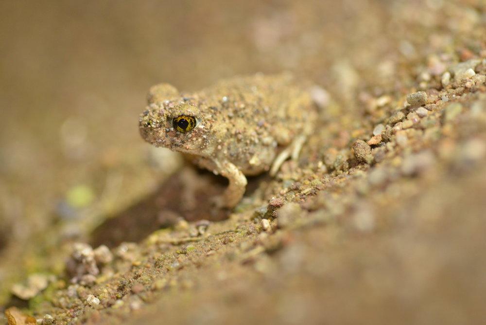 Front cover_Spadefoot toad_GA-X3.jpg