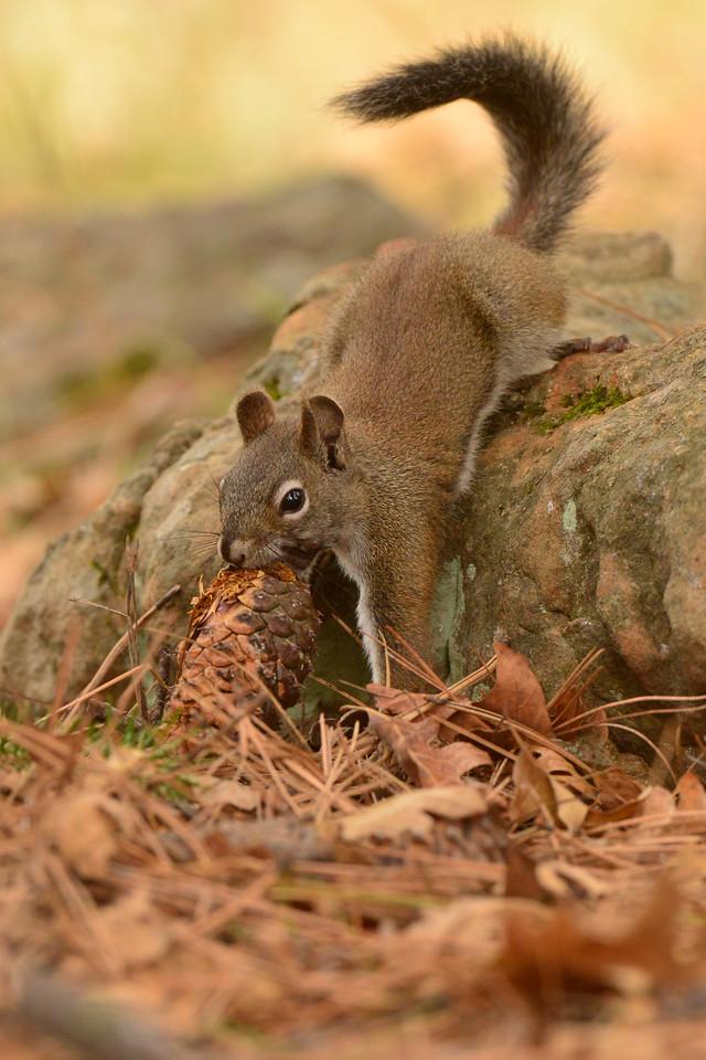 Red Squirrel AZGFD-GA-X2.jpg