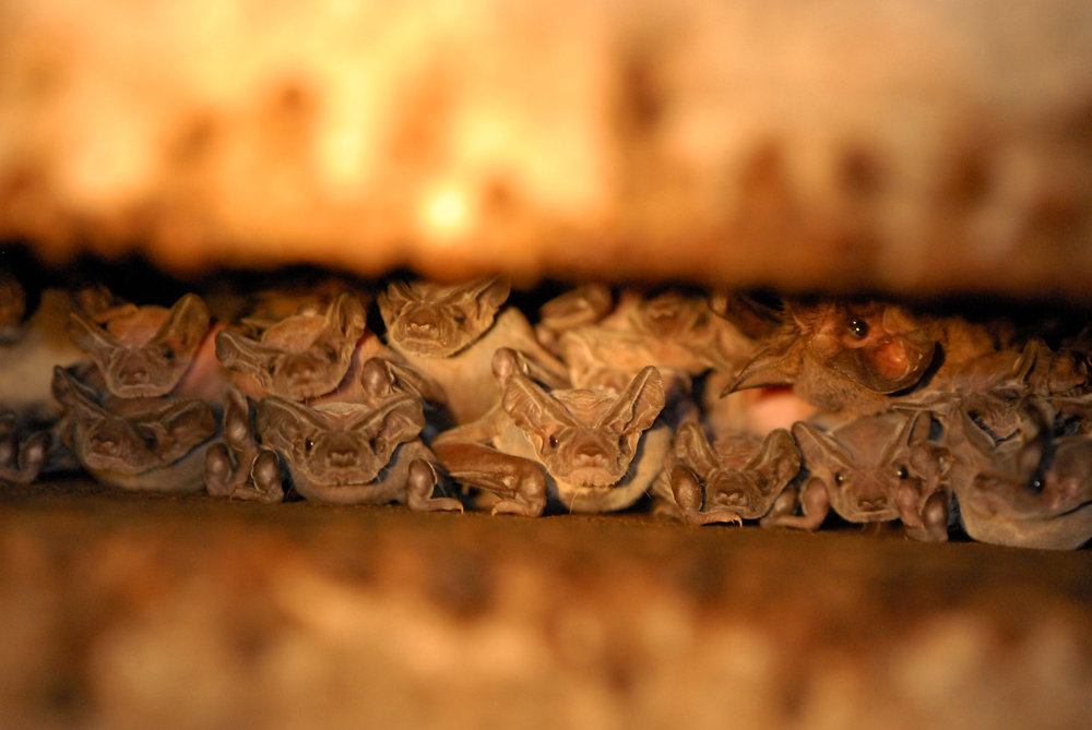 Mexican freetail bat colony-AZGFD-GA-3-X3.jpg