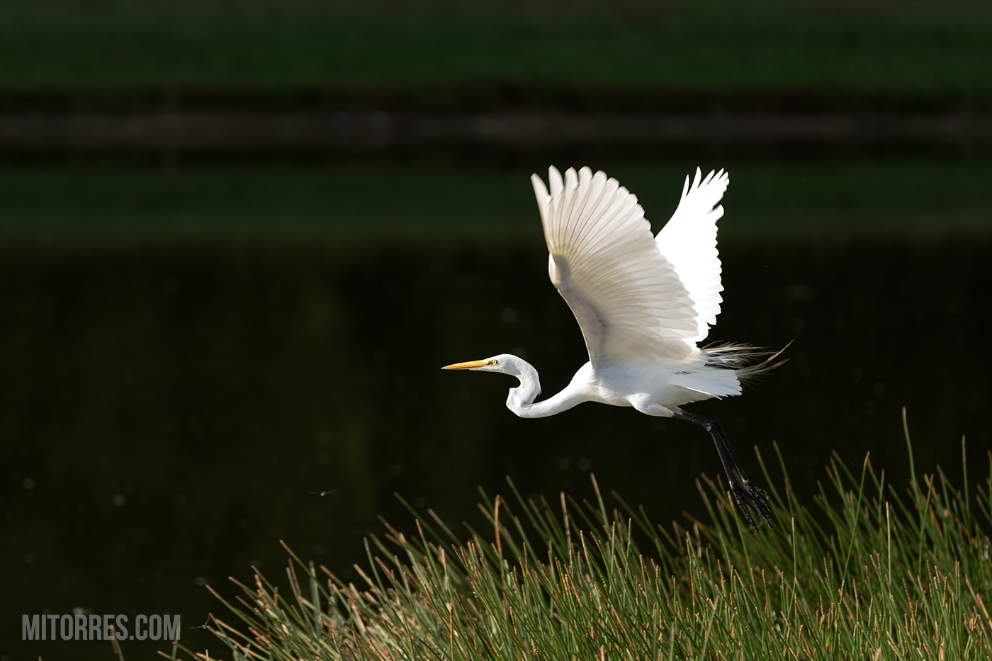 Great Egret taking off over the lake.