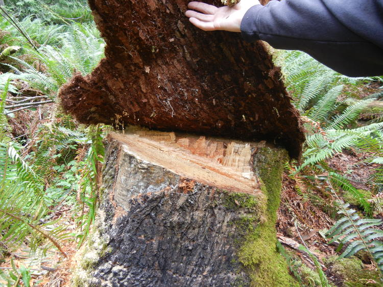 When bigleaf maple is freshly cut, it has a light blonde color that can be quite visible. A common method used by illegal loggers is to place a slab of moss on top of the stump to conceal the stump from law enforcement and also members of the public. Photo credits: Anne Minden, Minden & Associates