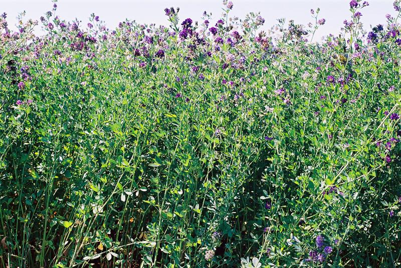 Field-of-Alfalfa-R.jpg