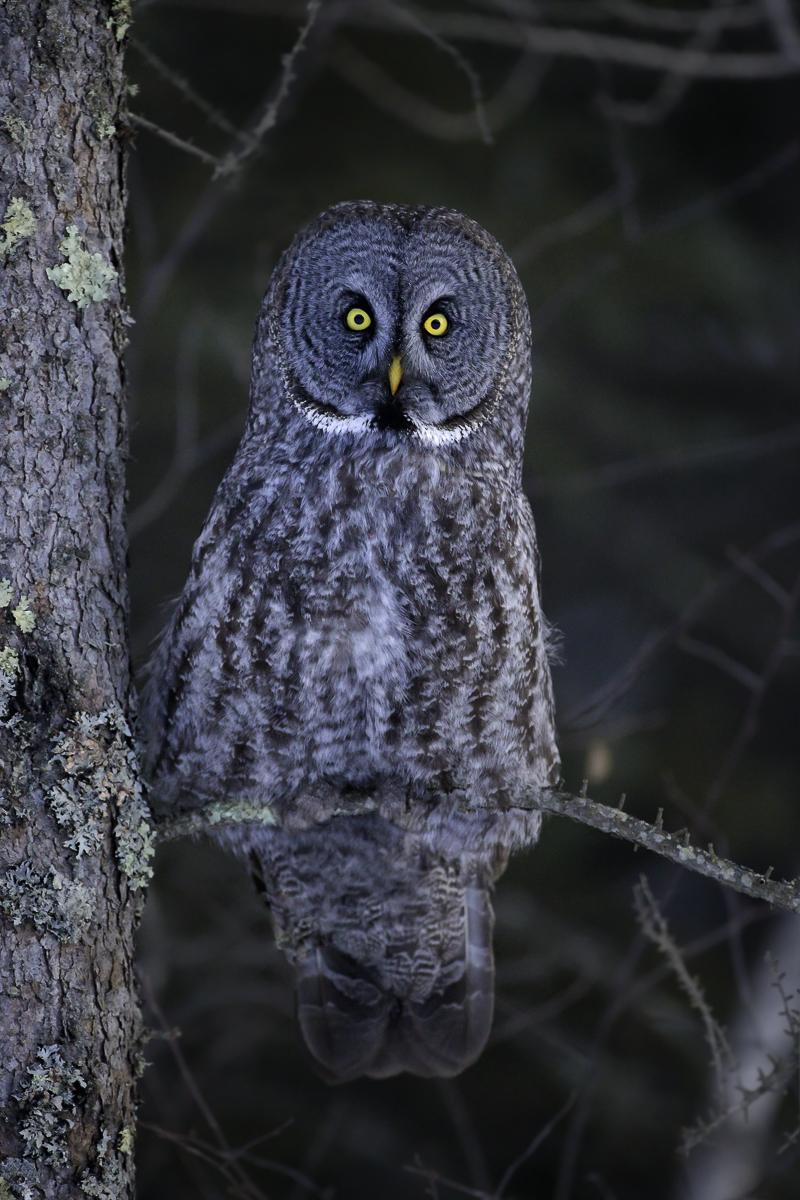 wildlife_afs_gray stare_G7T1114.jpg