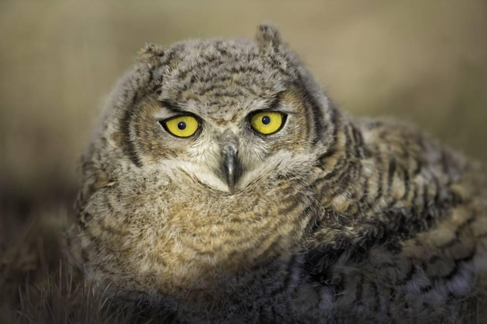 Las Vegas Owl