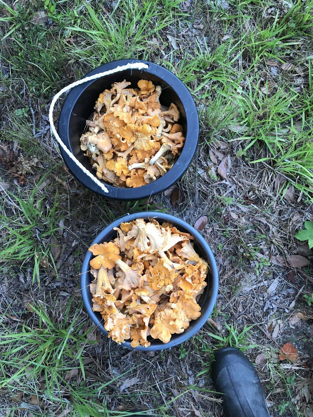Mary Connor - buckets of mushrooms.jpg