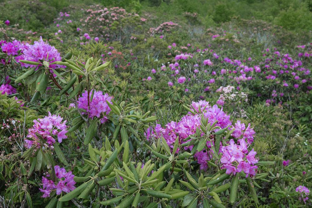 mountain-laurel-blooms-blue-ridge-parkway-mountains-Kathleen-Kathy-Roberts-Asheville-NC-Photographer-3.jpg