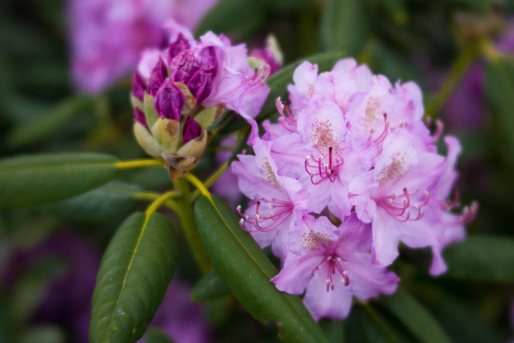 mountain-laurel-blooms-blue-ridge-parkway-mountains-Kathleen-Kathy-Roberts-Asheville-NC-Photographer-2.jpg