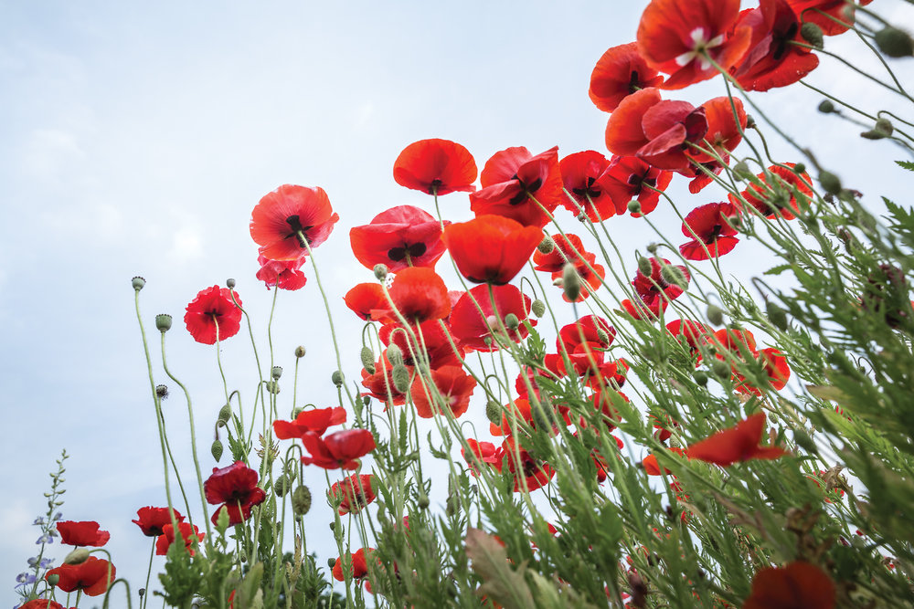red-poppies-along-interstate-in-NC-Kathleen-Kathy-Roberts-Asheville-NC-Photographer-1.jpg
