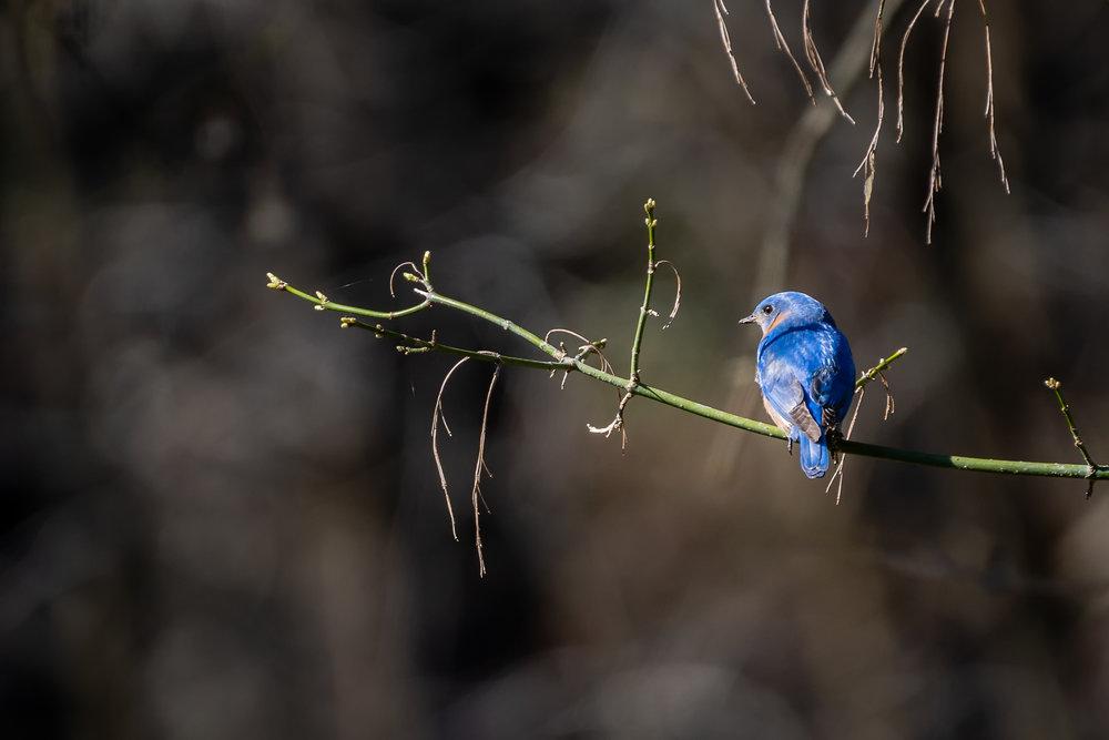 Blue-Birds-Making-Nest-Kathleen-Kathy-Roberts-Asheville-NC-Photographer-1.jpg