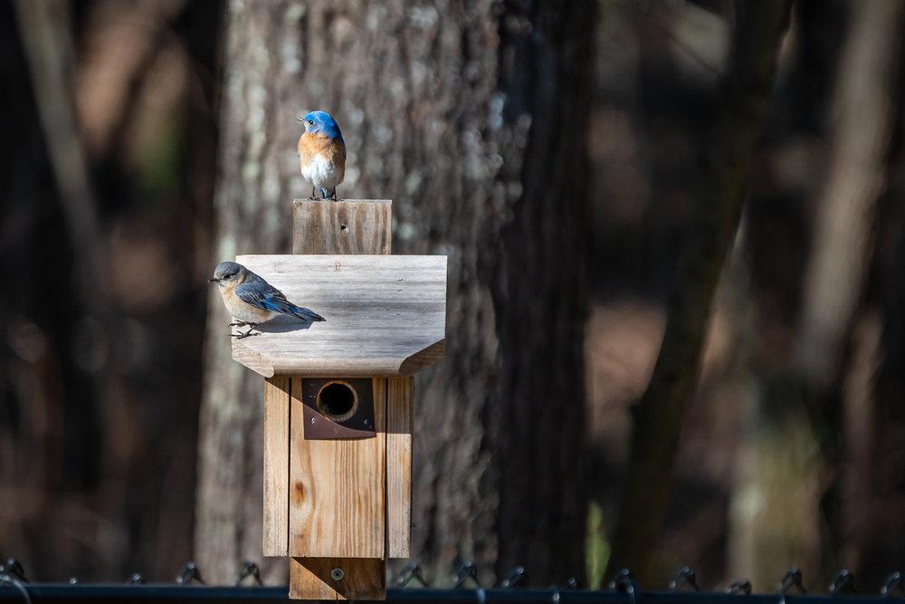 Blue-Birds-Making-Nest-Kathleen-Kathy-Roberts-Asheville-NC-Photographer-3.jpg