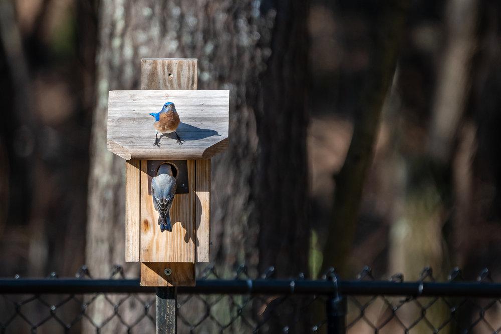 Blue-Birds-Making-Nest-Kathleen-Kathy-Roberts-Asheville-NC-Photographer-4.jpg