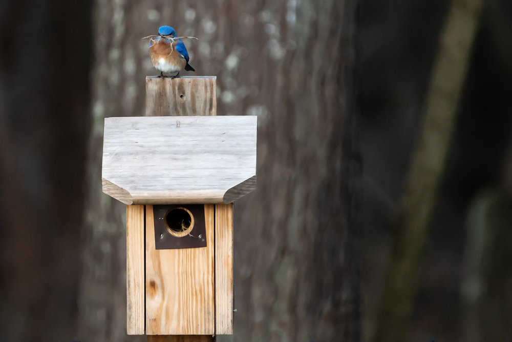 Blue-Birds-Making-Nest-Kathleen-Kathy-Roberts-Asheville-NC-Photographer-5.jpg