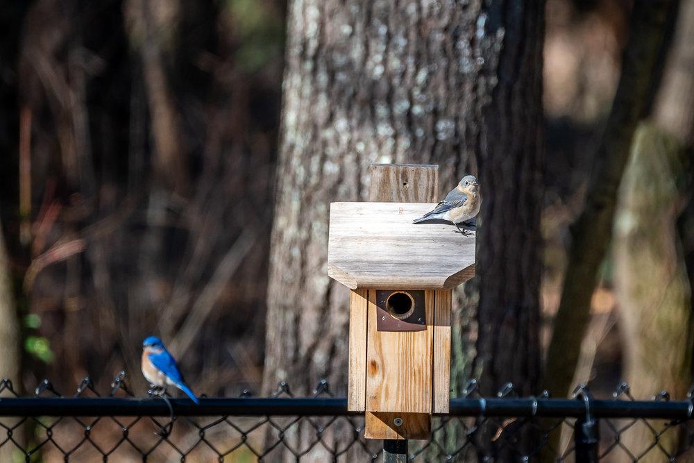 Blue-Birds-Making-Nest-Kathleen-Kathy-Roberts-Asheville-NC-Photographer-6.jpg