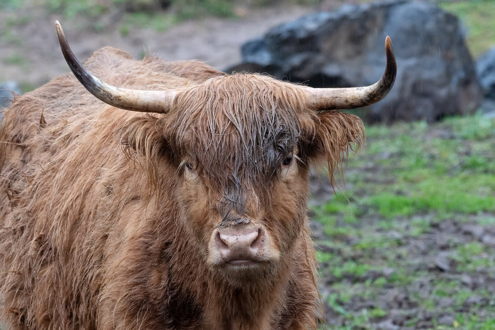 highland-cattle-ox-creek-weaverville-farm-Kathleen-Kathy-Roberts-Asheville-NC-Photographer-2.jpg