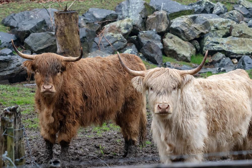 highland-cattle-ox-creek-weaverville-farm-Kathleen-Kathy-Roberts-Asheville-NC-Photographer-3.jpg