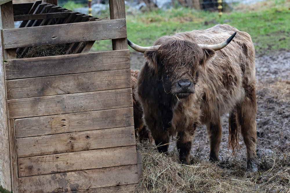 highland-cattle-ox-creek-weaverville-farm-Kathleen-Kathy-Roberts-Asheville-NC-Photographer-4.jpg