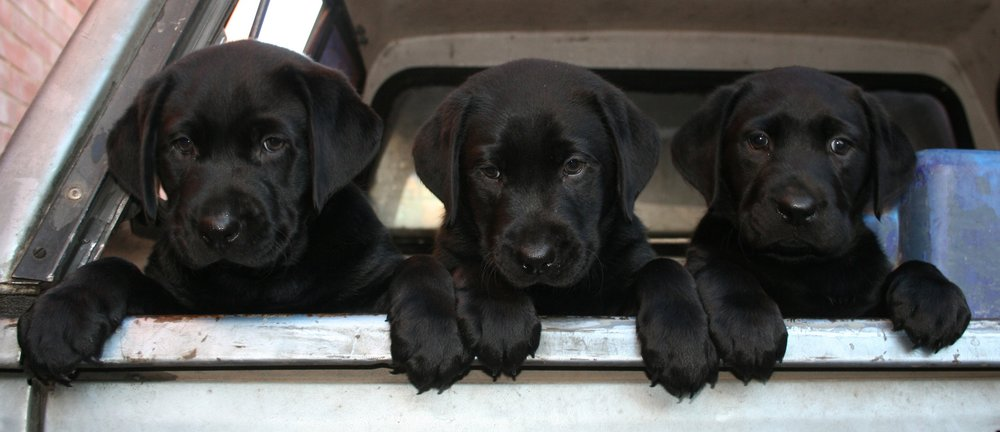 Pups+in+back+of+ute.jpg