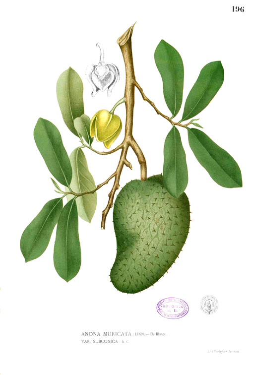 Illustration    by Francisco Manuel Blanco [Public domain], via    Wikimedia Commons.
