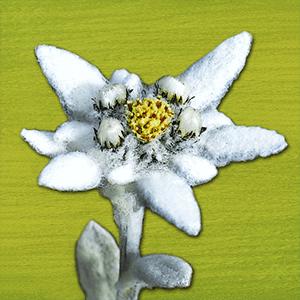 Alpenblumen Finder -