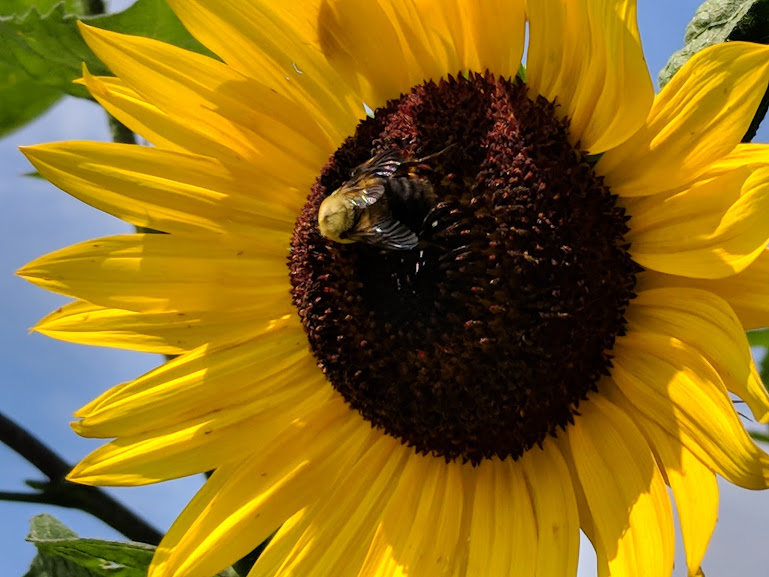 Bumble bee at work on a sunflower.
