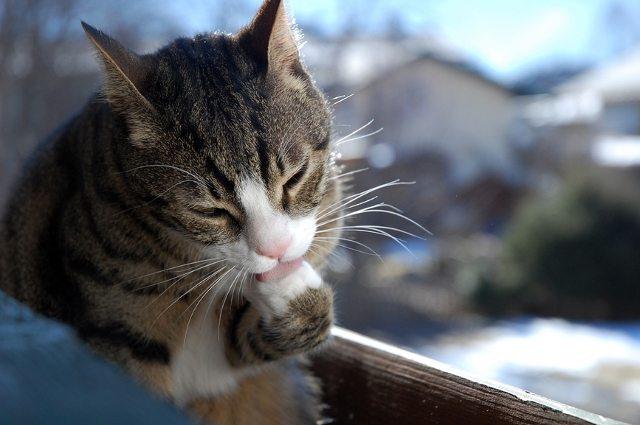 ghemotoace-par-pisica