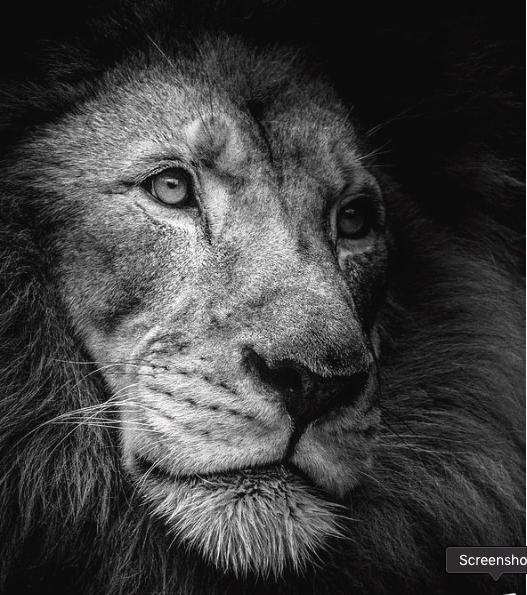 Male Lion - 2018 Honorable Mention Ribbon winner : San Diego County Fair International Photography Competition
