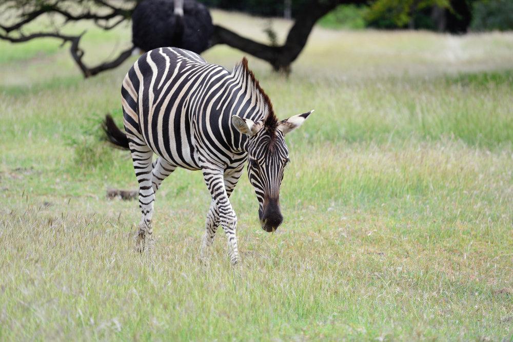mauritius_bigstock-Zebra-46117075.jpg