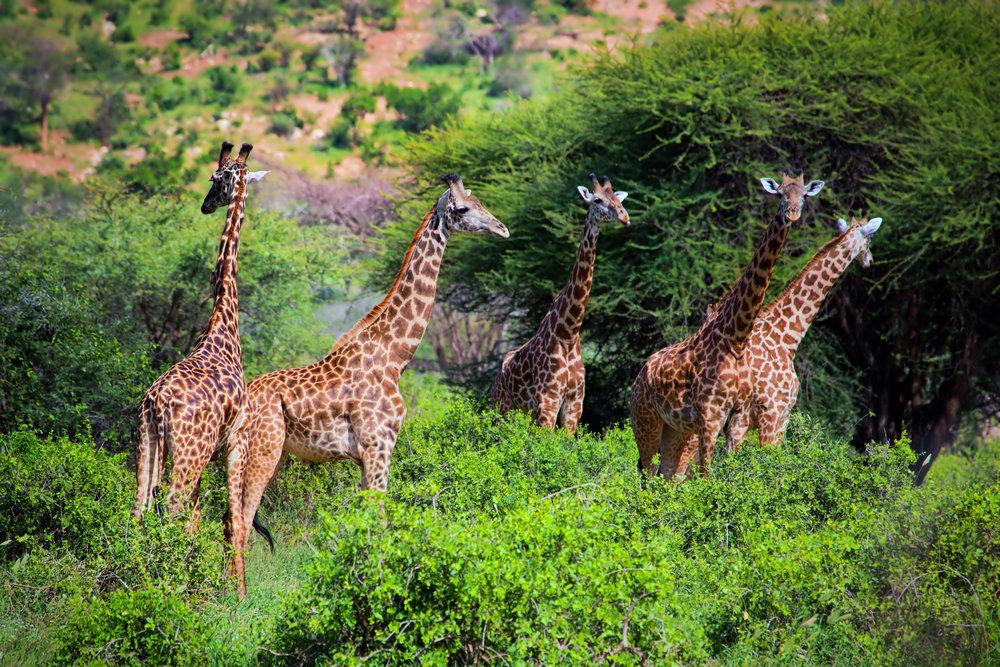kenya_bigstock-Three-giraffes-on-savanna-Saf-42915370.jpg