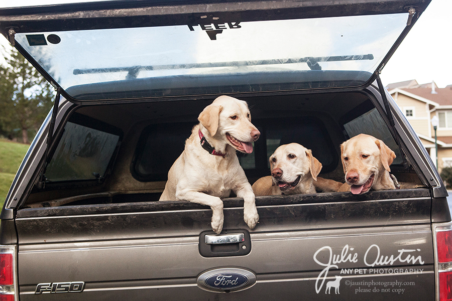 Three Yellow Labs arriving
