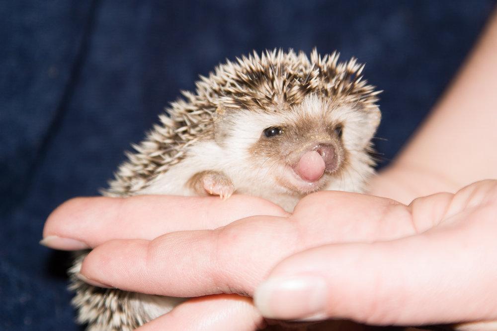 ALL ANIMALS BITE - Sometimes even hedgehogs…