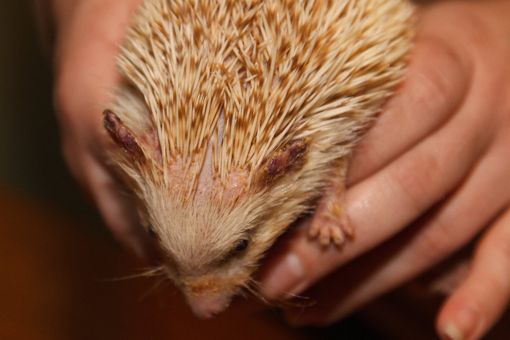 Quill loss due to mites