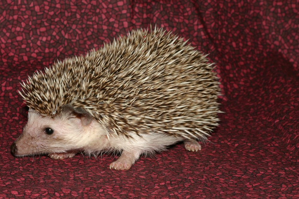 CHOCOLATE - Mostly chocolate or dark brown quills with up to 30% white quills mixed in. Masking on face varies as does the shade of chocolate of the quills. Dark nose and black eyes.