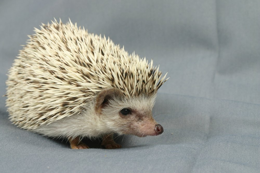 CHOCOLATE CHIP, SNOWFLAKE, CHOCOLATE SNOW - Chocolate quills with 30-70% white quills mixed in. Dark nose and black eyes.