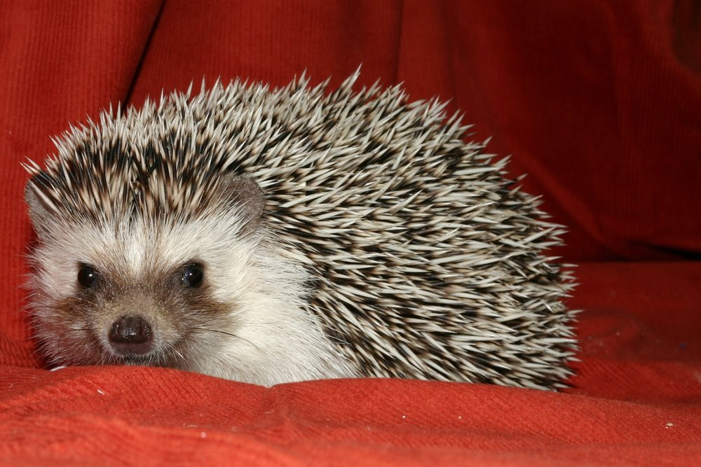 GRAY, CHARCOAL, GRAY SNOW - Quills are black with brownish rusty edges. Skin is gray with black nose and eyes. Up to 30% all-white quills mixed in. If more than 30% of the quills are all-white then the hedgehog is considered a Charcoal or a Gray Snow.
