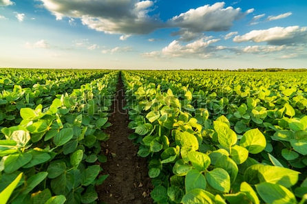 Soybean Field - home page.PNG