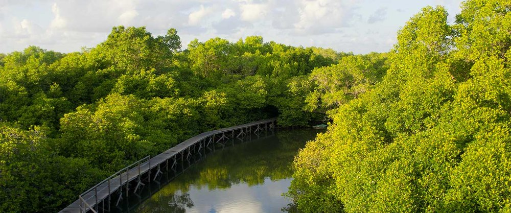 Mangroves - Mangroves are being lost at a rate of 2% per year. Experts estimate that carbon emissions from mangrove deforestation account for up to 10% of emissions from deforestation globally, despite covering just 0.7% of land coverage.