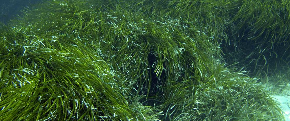 Seagrasses - Seagrasses cover less than 0.2% of ocean floor, but store about 10% of the carbon buried in the oceans each year. Seagrasses are being lost at a rate of 1.5% per year and have lost approximately 30% of historical global coverage.