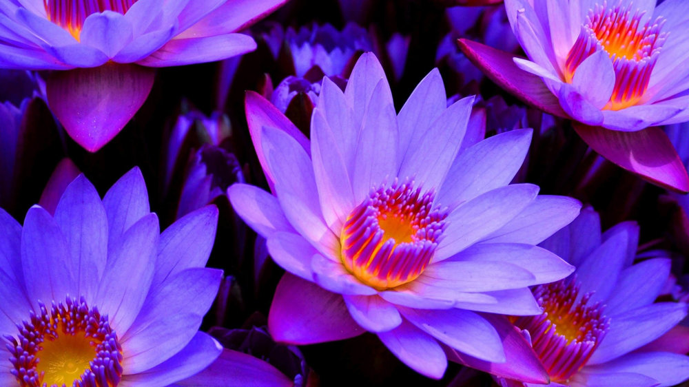The Benefits Of Blue Lotus Flower Nymphaea Caerulea Kades